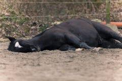 Il cavallo mette sul lato a sonno fuori Fotografia Stock Libera da Diritti