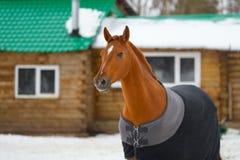 Il cavallo nella coperta Immagini Stock