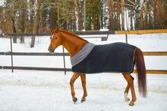 Il cavallo nella coperta Fotografia Stock