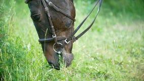 Il cavallo nero mastica l'erba verde nel campo dell'estate stock footage