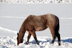 Il cavallo pasce in neve Fotografia Stock Libera da Diritti