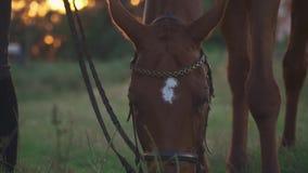 Il cavallo pasce sul campo stock footage