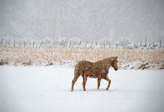 Il cavallo percorre il pascolo di inverno Fotografie Stock Libere da Diritti