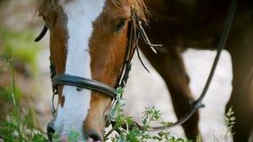 Il cavallo rosso mastica l'erba verde nel campo dell'estate stock footage