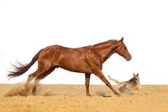 Il cavallo salta sulla sabbia su un fondo bianco immagini stock libere da diritti