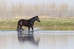 Il cavallo selvaggio nero è trotto attraverso l'acqua fotografie stock libere da diritti