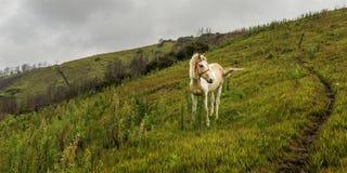 Il cavallo solo che sta lungo i pendii del villaggio di Cemoro Lawang di mattina ha individuato a nordest del Mt Bromo, Indonesia Immagini Stock Libere da Diritti