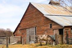 Il cavallo solo pasce sul recinto per bestiame del granaio del ranch dell'azienda agricola dell'alimentazione Immagine Stock