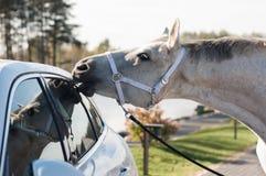 Il cavallo sta mordendo la disposizione dell'automobile Fotografia Stock Libera da Diritti
