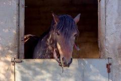 Il cavallo sta nella stalla Immagini Stock Libere da Diritti