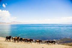 Il cavallo sta pascendo lungo il lago Fotografia Stock Libera da Diritti