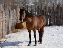 Il cavallo, stante nel recinto per bestiame Fotografia Stock Libera da Diritti