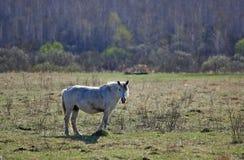 Il cavallo sul campo Fotografia Stock Libera da Diritti