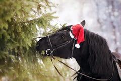 Il cavallo in un cappello di Santa Claus di rosso mangia i rami dell'abete Fotografie Stock Libere da Diritti