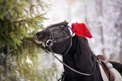 Il cavallo in un cappello di Santa Claus di rosso mangia i rami dell'abete Immagini Stock