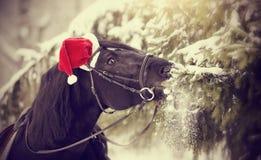 Il cavallo in un cappello di Santa Claus di rosso mangia i rami dell'abete Fotografia Stock