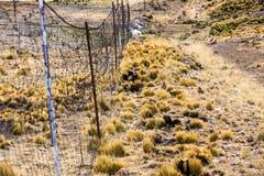 Il cavo recinta le vigogna del pascolo Fotografia Stock Libera da Diritti