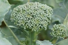 Il cavolo dei broccoli si sviluppa sul campo Nuovo primo piano di verdure importante e saporito Fotografia Stock Libera da Diritti