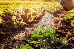 Il cavolo di innaffiatura germoglia da un annaffiatoio al tramonto in campagna Agricoltura e concetto di azienda agricola Fotografia Stock Libera da Diritti