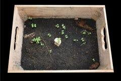 Il cavolo organico paragona alla crescita idroponica dei 5 giorni del cavolo Fotografie Stock