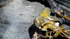 Il Cebuella Pygmaea dell'uistitì pigmeo della scimmia dà dei calci ad un altro durante la pulce che rimuove il rituale archivi video