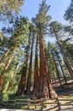 Il celibe e tre tolleranze, boschetto di Mariposa, Yosemite Fotografia Stock Libera da Diritti