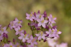 Il Centaury comune lilla delicato fiorisce, erythraea del Centaurium Fotografia Stock