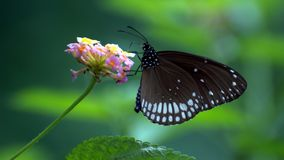 Il centro di Euploea - farfalla comune del corvo dell'indiano sul lantana camara fotografia stock