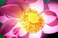 Il centro di Lotus Immagine Stock Libera da Diritti