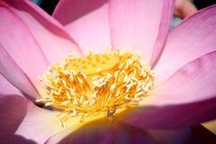 Il centro di Lotus Fotografie Stock