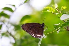 Il centro indiano comune di Euploea della farfalla del corvo che riposa su una l verde Immagine Stock Libera da Diritti