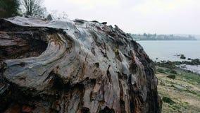 Il ceppo affascinante ha lavato su sulla riva immagine stock