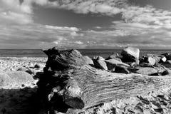 Il ceppo dell'albero caduto ha lavato su sulla riva fotografie stock libere da diritti