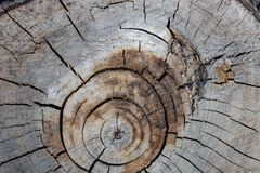 Il ceppo dell'albero ha abbattuto, sezione del tronco Fondo dal ceppo di un albero abbattuto fotografia stock libera da diritti