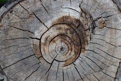 Il ceppo dell'albero ha abbattuto, sezione del tronco Fondo dal ceppo di un albero abbattuto fotografia stock