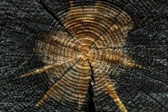 Il ceppo della sezione abbattuta vecchio albero del tronco con gli anelli annuali affetta la struttura di legno immagini stock