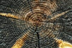Il ceppo della sezione abbattuta vecchio albero del tronco con gli anelli annuali affetta la struttura di legno immagine stock
