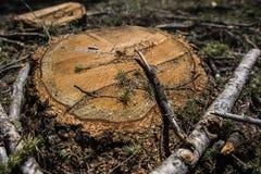Il ceppo di legno ha tagliato di recente Fotografia Stock Libera da Diritti