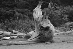 Il ceppo pianta il legname galleggiante che scolpisce l'erosione del legno Immagini Stock Libere da Diritti