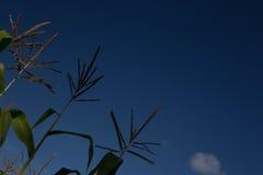 Il cereale insegue contro un cielo blu un giorno soleggiato Immagini Stock Libere da Diritti