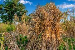 Il cereale raccoglie tradizionalmente la menzogne asciutta nelle aziende agricole immagini stock libere da diritti