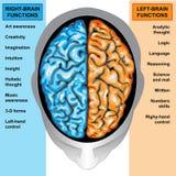 Il cervello umano a destra e a sinistra funziona Fotografie Stock Libere da Diritti