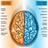 Il cervello umano a destra e a sinistra funziona Immagini Stock Libere da Diritti