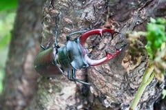 Il cervo di Lucanus dello scarabeo Immagine Stock