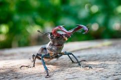Il cervo di Lucanus dello scarabeo Immagini Stock
