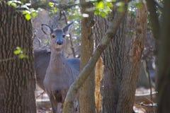 Il cervo di Yound in legno considera Fotografia Stock Libera da Diritti