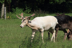 Il cervo e fa Fotografie Stock