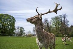 Il cervo fiero del maschio sta alto Fotografie Stock