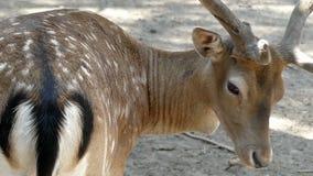 Il cervo maschio macchiato lecca la sua pelle che vuole essere bello nel slo-Mo video d archivio
