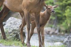 Il cervo mulo del bambino sbircia intorno alla sua mamma. Immagini Stock